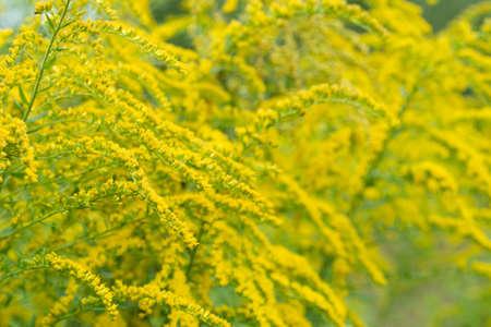 Solidago canadensis Canada goldenrod yellow flowers closeup Stock Photo