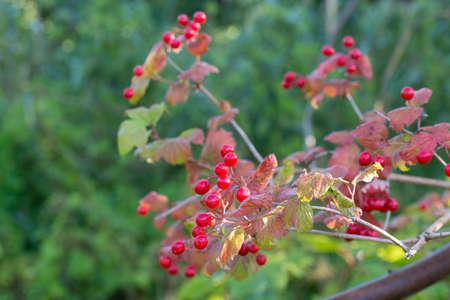 Viburnum opulus guelder-rose or guelder rose red berries on twig Zdjęcie Seryjne