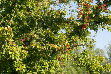 Crataegus ,hawthorn, quickthor red berries on branches on blue sky background