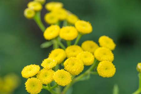 Tansy (Tanacetum vulgare) yellow flowers macro selective focus Stockfoto