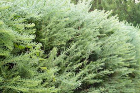 larch green hedge closeup selective focus