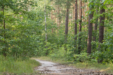 footpath in summer forest in Poland