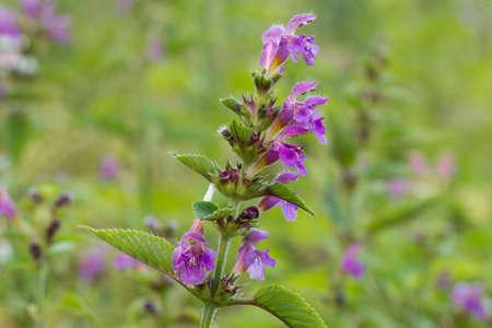 Galeopsis tetrahit, brittlestem hempnettle flowers in meadow closeup selective focus