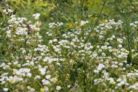 Erigeron annuus, fleabane eastern daisy white flowers in meadow macro selective focus 스톡 콘텐츠