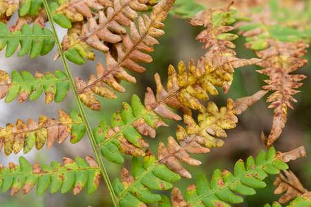 green, brown and orange autumn eagle fern leaves closeup selective focus