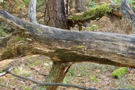 fallen oak tree in forest