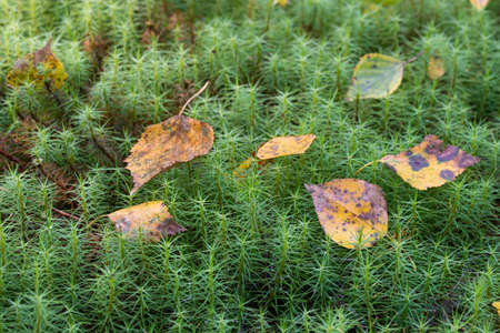 fallen autumn leaves on moss (common haircap) closeup selective focus