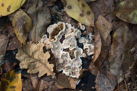 Laxitextum bicolor, plant pathogen fungus closeup selective focus