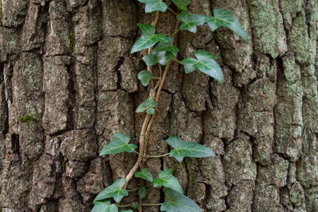 ivy leaves on oak tree trunk in forest selective focus