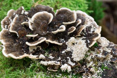 Trametes versicolor, turkey tail mushroom on tree stump closeup selective focus