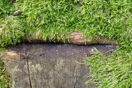 old tree stump covered with moss closeup selective focus