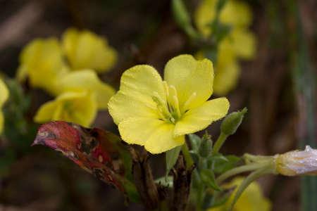 Oenothera biennis common evening primrose yellow flowers in meadow macro selective focus Archivio Fotografico