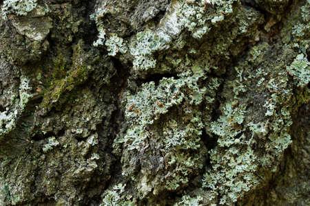 lichen Hypogymnia physodes on tree closeup selective focus Archivio Fotografico