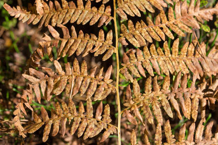 dried eagle fern on sunny day closeup selective focus