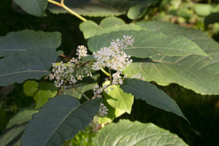Reynoutria japonica, Asian knotweed flowers and leaves selective focus