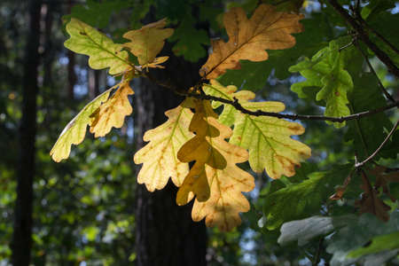 colorful oak leaves on twig back lit selective focus Archivio Fotografico