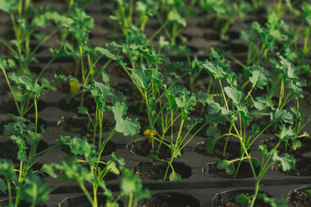 young green sprout in the ground in boxes. Stock Photo