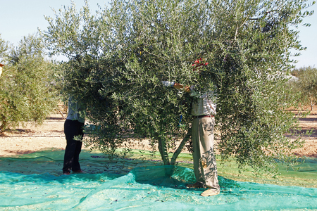 Harvesting olives in Catalonia, Spain photo
