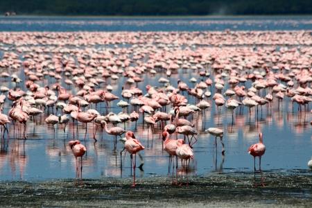 Beaucoup de flamants roses colorées dans du lac Nakuru, Kenya