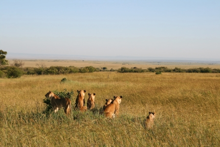 A group of wild lions in the savannah, Kenya photo