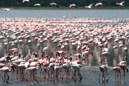 Lots of colorful flamingos in Nakuru lake, Kenya photo