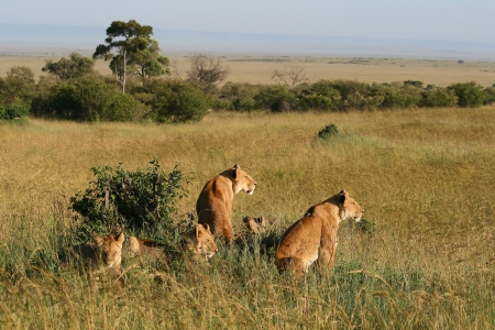 female lion: Group of wild lions in the savannah, Kenya