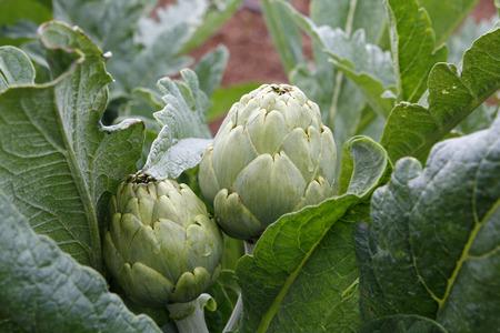 Natural artichokes in the plant