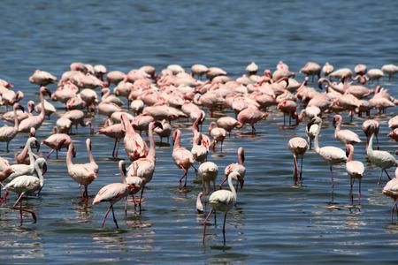 Lots of colorful flamingos in Nakuru lake, Kenya photo