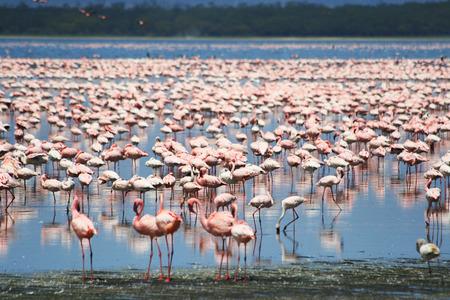 Lots of colorful flamingos in Nakuru lake, Kenya
