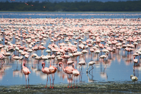 Lots of colorful flamingos in Nakuru lake, Kenya