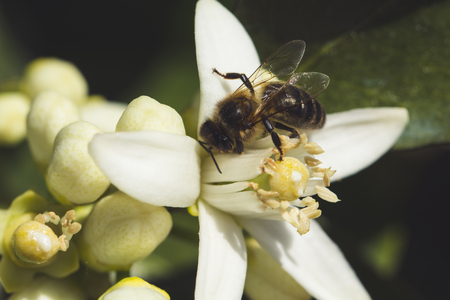 pollination: Pollination of an orange tree flower, with a bee Stock Photo