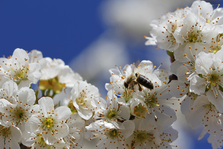 pollination: Cherry blossom and bee, pollination at spring