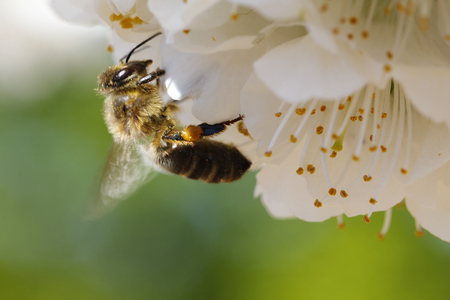 pollination: Pollination of cherry tree flower, with a bee
