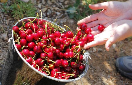 collecting: Human hands collecting cherries, outdoors Stock Photo