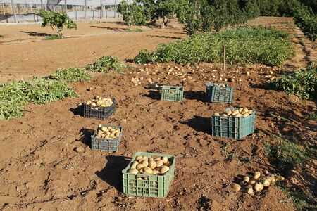 harvested: Potatoes field being harvested, agriculture