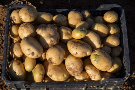 harvested: Potatoes being harvested, in a plastic box
