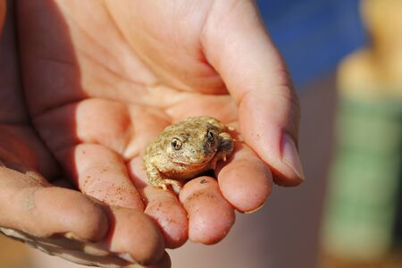 tiny frog: Human hands holding a small frog