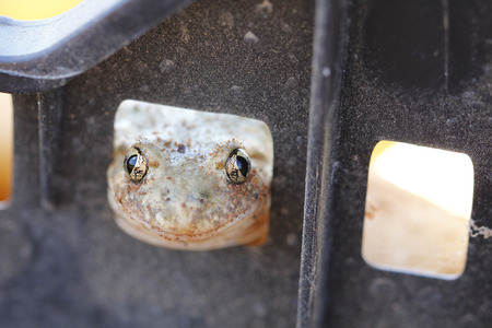 occhi grandi: Face of frog looking to the cam, with big eyes Archivio Fotografico