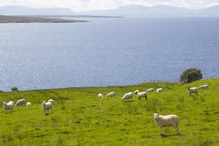ovejas bebes: Rebaño de ovejas en la costa verde de Irlanda