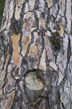 face in tree bark: Pine trunk crust, with a face on it Stock Photo
