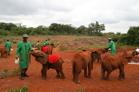 NAIROBI, KENYA - June 07, 2009: The David Sheldrick Wildlife Trust, a Kenyan wildlife conservation charity,  managing an orphanage for elephants on June 07, 2009 in Nairobi