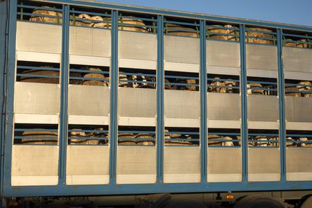 importation: Sheep in a transport truck, livestock trading