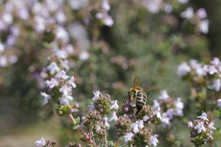 La pollinisation de thym à ressort, avec une abeille Banque d'images