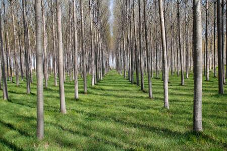 Les arbres dans la forêt, avec beaucoup de troncs
