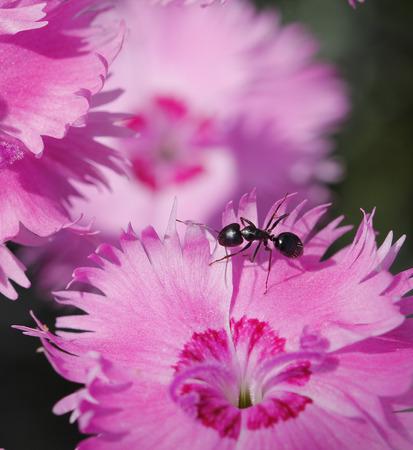 Macro fourmi dans une fleur rose