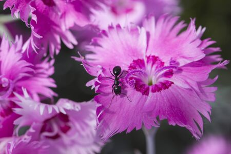 Macro ant in a pink flower Banque d'images