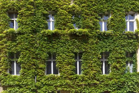 Fenêtres dans un mur vert recouvert de lierre Banque d'images