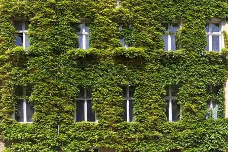 Windows in a green wall covered with ivy Banque d'images
