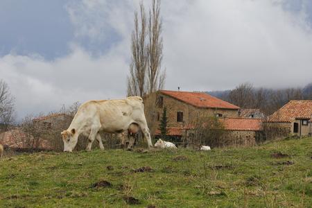 Vaches qui paissent devant un village, dans les montagnes