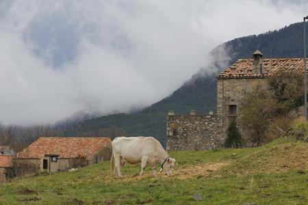 Vache en pâturage devant un village, dans les montagnes